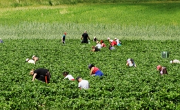 People pick strawberries in an agricultural field.